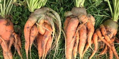 Что случилось с морковью и можно ли такую есть?