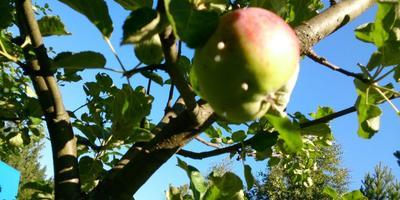 Помогите узнать, что с яблоками и как с этим бороться?