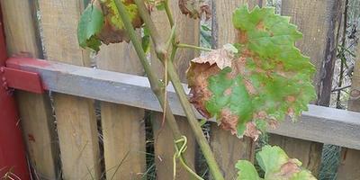 Подскажите, что случилось с виноградом и возможно ли его вылечить?