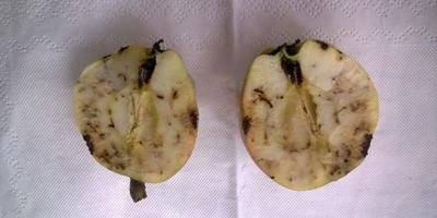 Подскажите, чем, когда и как обработать нашу большую яблоню, чтобы на следующий год получить здоровый урожай?