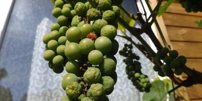 На некоторых кистях винограда Изабелла засыхают отдельные ягоды. В чем причина?
