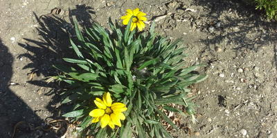 Можно ли занести в квартиру цветущую газанию, а по весне снова высадить? Будут ли цвести еще одно лето?