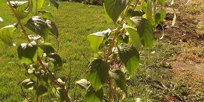 Подскажите, почему скручиваются листики у чубушника махрового?