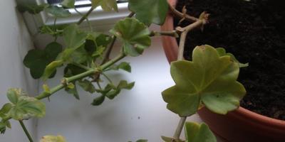 Желтеют листья у пеларгонии. Что делать?