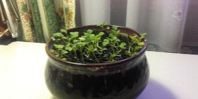 Горчица и редис затормозились в росте, на листьях огурцов появились светлые пятна. В чем может быть причина?