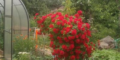 Как следует ухаживать за плетистой розой и можно ли ее пересаживать?