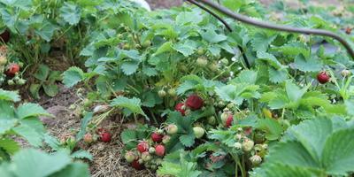 Почему темнеют и усыхают ягоды клубники и что надо предпринять, чтобы такая ситуация не повторилась в этом году?