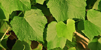 Виноградная вертикаль