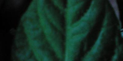 На листиках перца появились пупырышки снизу, а сверху на других белесый налет. Что это?
