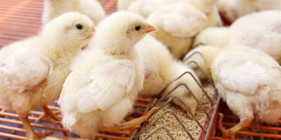 Как построить брудер для цыплят своими руками