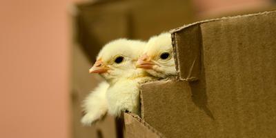 Как правильно посадить купленных цыплят в брудер