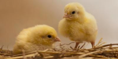 Газета, солома или стружка: выбираем подстилку цыплятам