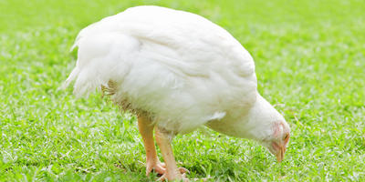 Чем кормить цыплят-бройлеров