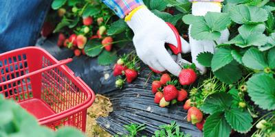 Садовая земляника – тонкости сбора урожая