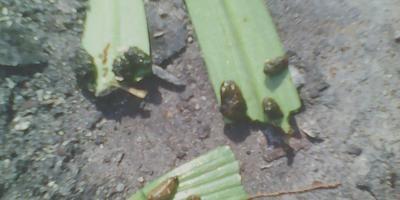 Помогите определить вредителей лилий. Как с ними бороться?