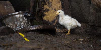 Цыплятам нужен свежий воздух!