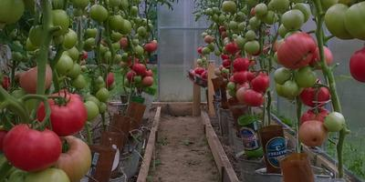 Самая урожайная кисть — Малиновая мечта