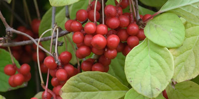 Витамины на кусте: особенности выращивания актинидии, лимонника и барбариса