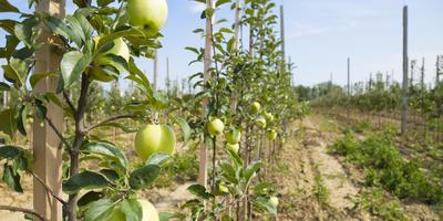 Сорта колонновидных яблонь