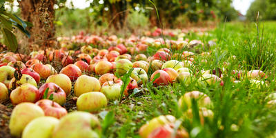 Когда собирать урожай яблок