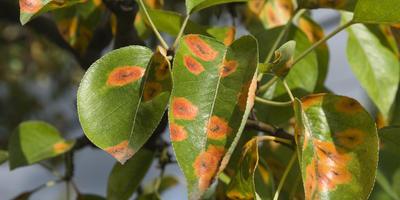Знакомимся с фунгицидами - препаратами для борьбы с болезнями растений