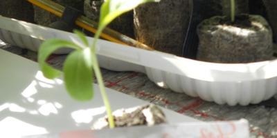Баклажан Заморский полосатик. Появление настоящих листьев