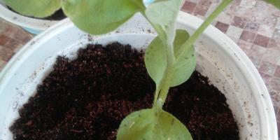 Почему на листочках рассады баклажана появились дырочки и деформация?