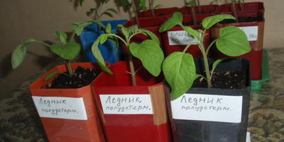 Сеяла томаты, а что выросло?