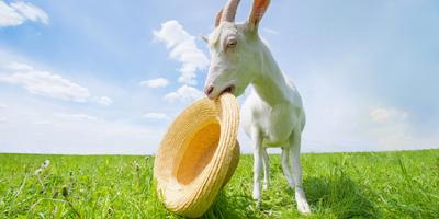 Юбилейный сотый пост о козах! Фима, поздравляем!