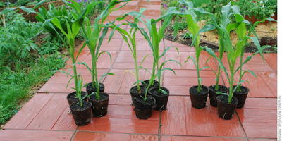 Рассада сахарной кукурузы удалась на славу - спасибо биоактиваторам Трихоплант и Биоспектр!