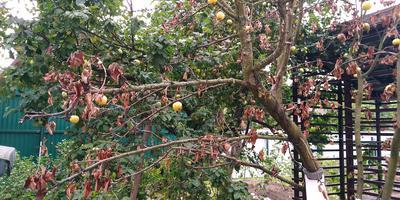 Подскажите, чем болеет яблоня и как ее лечить?