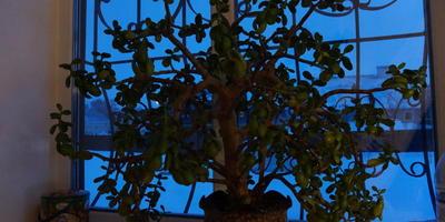 Мое денежное дерево)