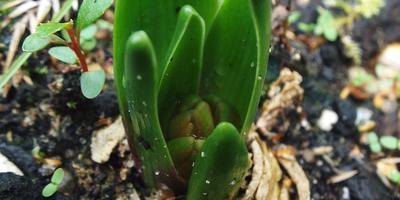 Обнаружила сегодня, что собирается цвести гиацинт. Что с ним делать? Он погибнет?