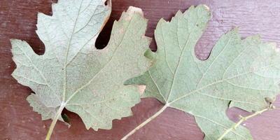 Помогите определить заболевание винограда по фото