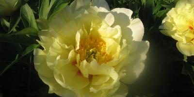 Жёлтые пионы... вестники богатства... цвета запоздалой утренней звезды, аааа