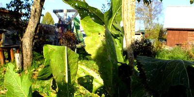 Хрен - досадный сорняк или полезная дачная культура?