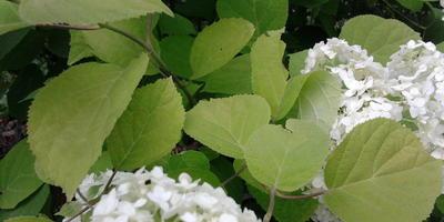 У древовидной гортензии бледные листья