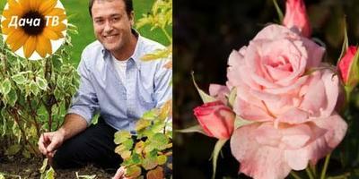 Роза: история, виды, уход. Цветы как чудо. Дача ТВ