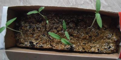 Как поступить с рассадой томатов?