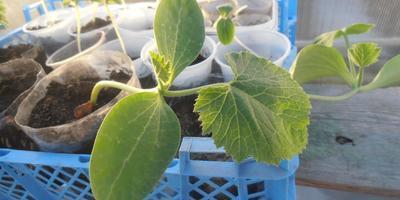 Кабачок Искандер F1. I этап. Рост и развитие растений