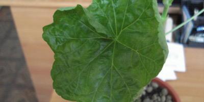 Что с листьями пеларгонии?