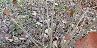 Наливка из черноплодной рябины с вишневым и смородиновым листом