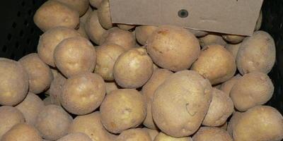 Картофель глазами меня... Как сажала и сорта выбирала. Часть 2