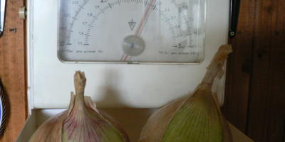Семена лука Эксибишен какого производителя покрыты защитной оболочкой?