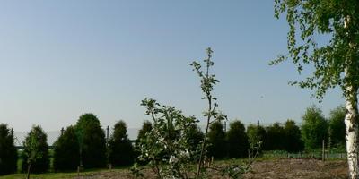 """Яблоня """"Медуница"""". Посадка, уход, формирование, хранение плодов"""