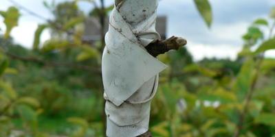 Во второй половине лета сделала прививку почкой на яблоне. Какие должны быть дальнейшие действия?