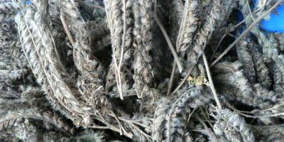 Собирали ли семидачники семена фацелии?