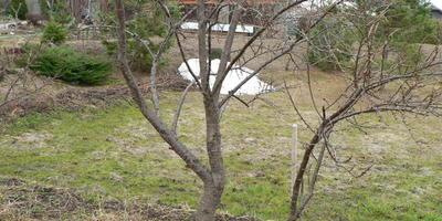 Весенний уход за облепихой. Как обрезать, чтобы лишнее не удалить и получить урожай