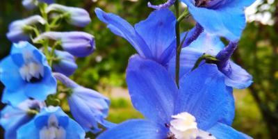 Любимые синие и голубые цветы, или Осеннее цветение дельфиниума