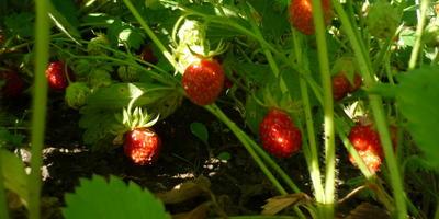 Вот такие ягодки!